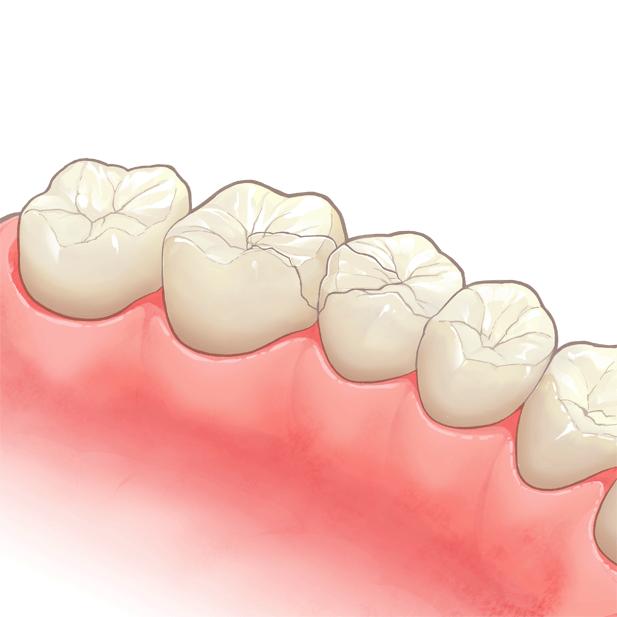 綺麗に並んだ奥歯のイラスト